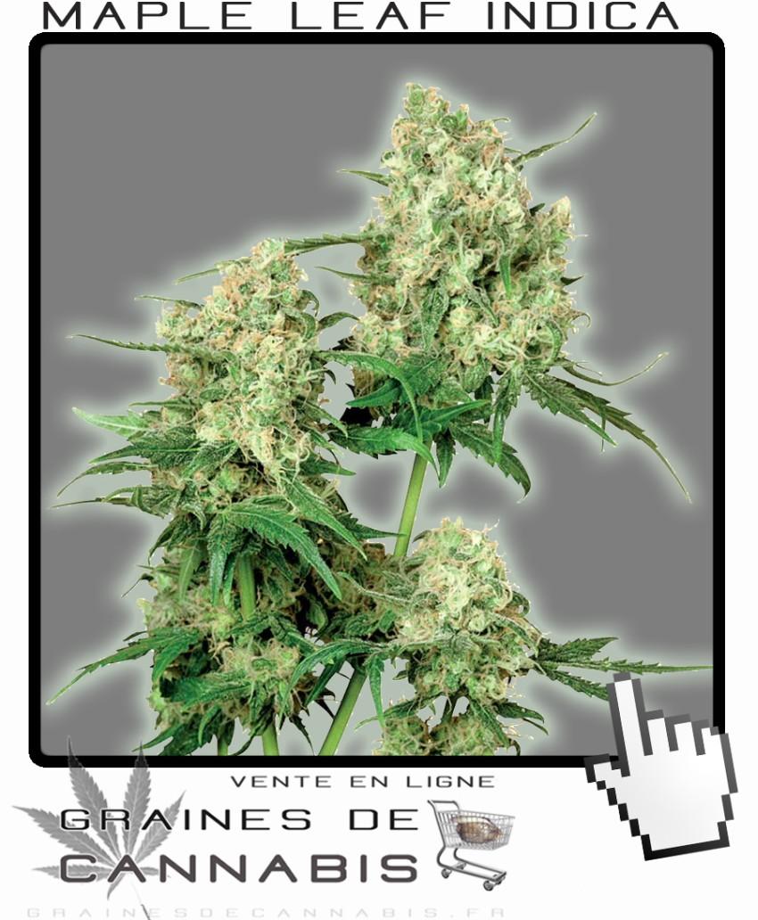 Une culture de cannabis en intérieur: le bon choix.   Acheter Cannabis