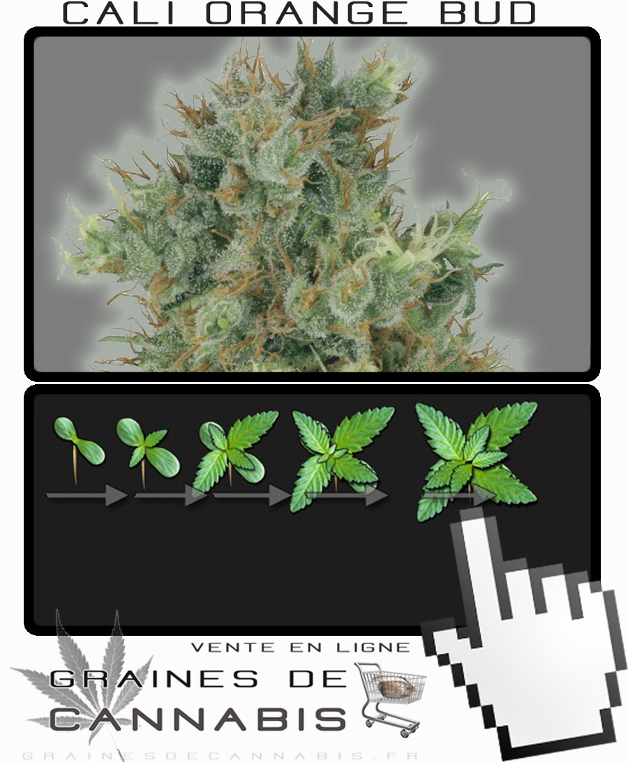 California orange bud for Croissance cannabis interieur