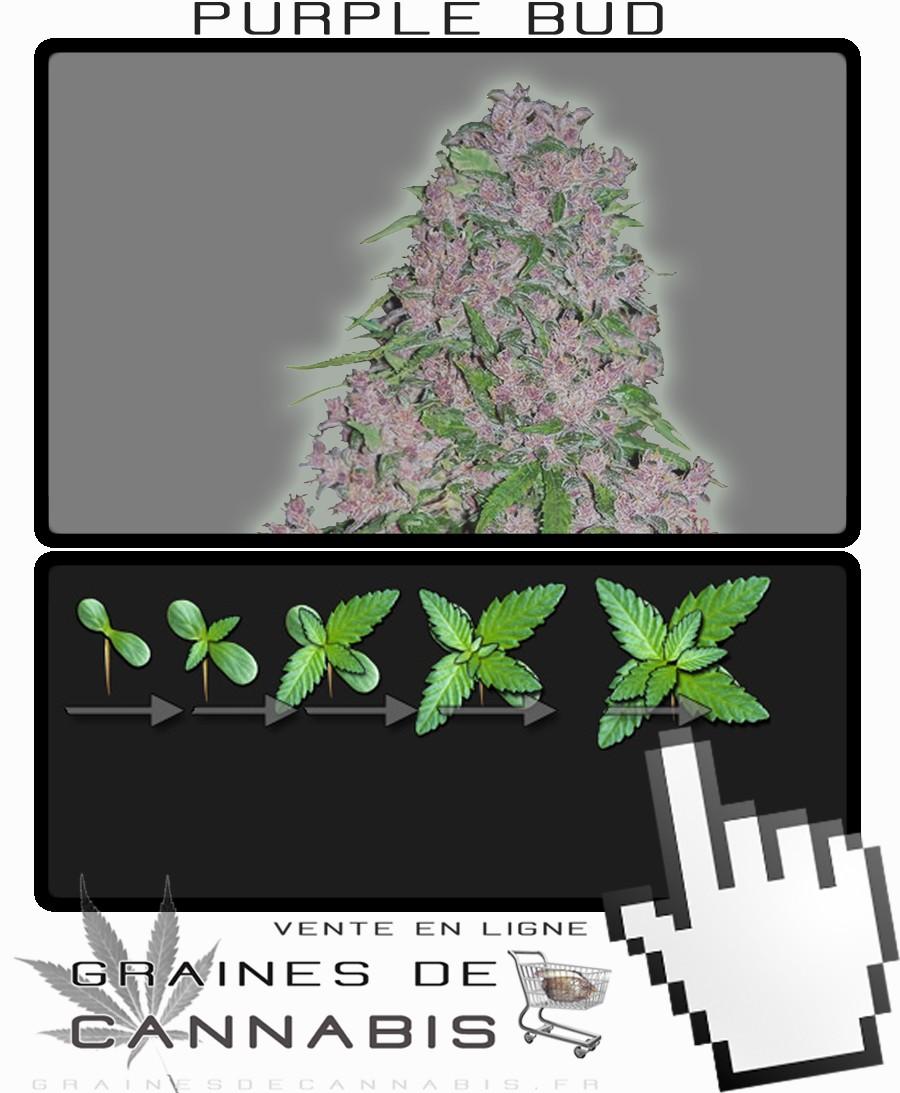 Graines de cannabis puissant et facile cultiver for Terreau cannabis exterieur