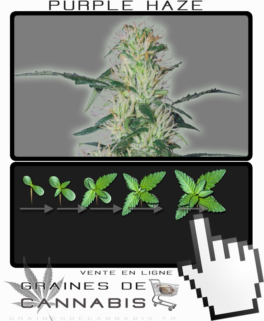 cannabis violette. Black Bedroom Furniture Sets. Home Design Ideas