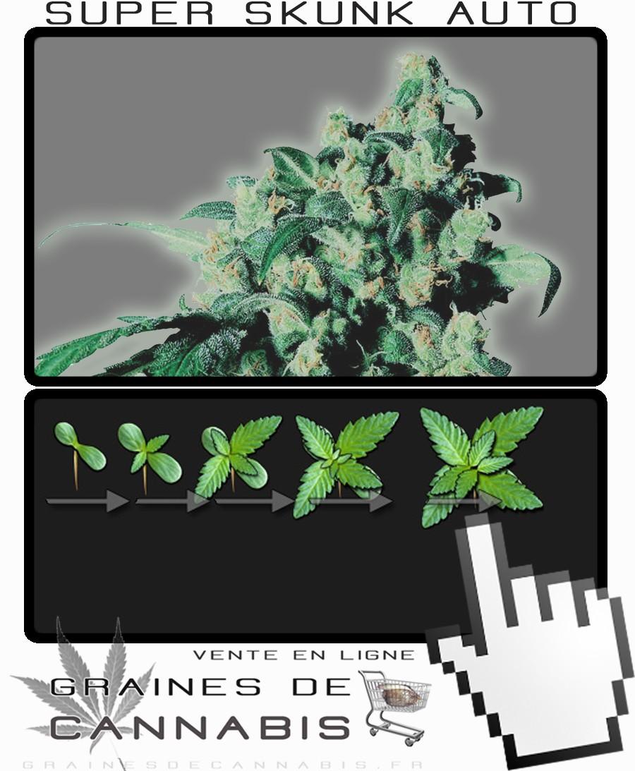 cannabis compact avec un haut rendement