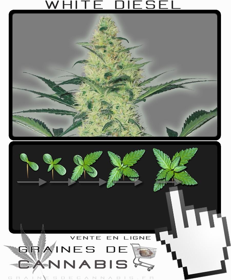 achetez des graines de cannabis f 233 minis 233 es