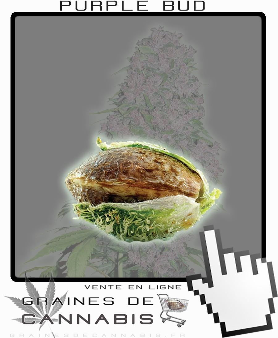 Graines de cannabis puissant et facile cultiver - Faire germer des graines de potimarron ...