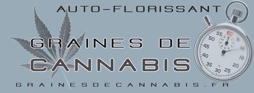 Graines de cannabis à autofloraison