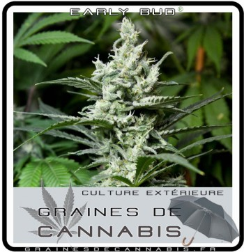 Early Bud cannabis plante en fleur