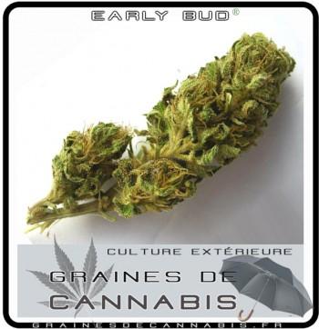 Cannabis puissant pour l'extérieur: Early Bud