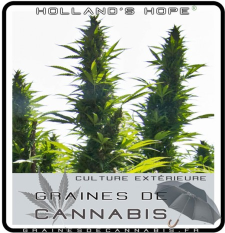 Graines pour la culture en ext rieur for Planter cannabis exterieur