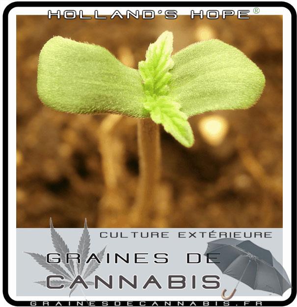 Les meilleures graines de cannabis pour l ext rieur for Acheter des plantes par internet