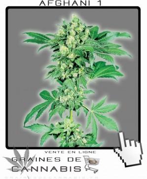 Graines de afghan cannabis for Afghan kush exterieur