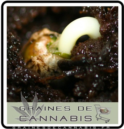 Graines de Cannabis - faire germer