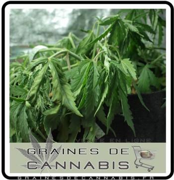 arroser-cannabis