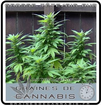 Graines de cannabis autofloraison pour la culture en extérieur