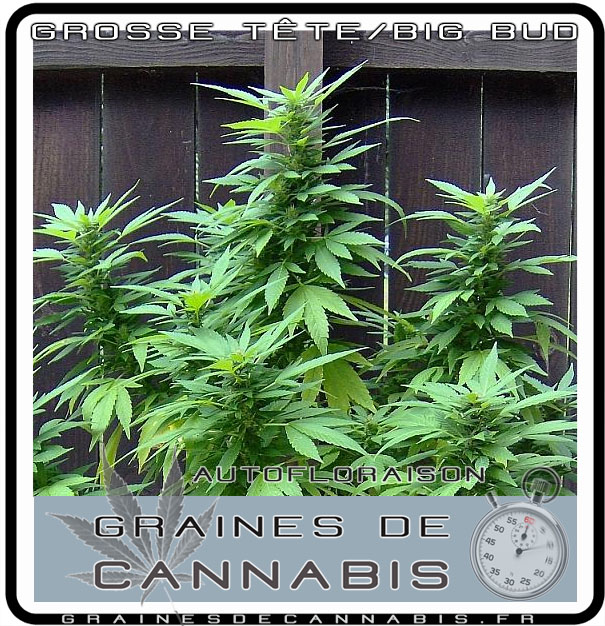 Graines de cannabis autofloraison pour l ext rieur for Plante cannabis interieur