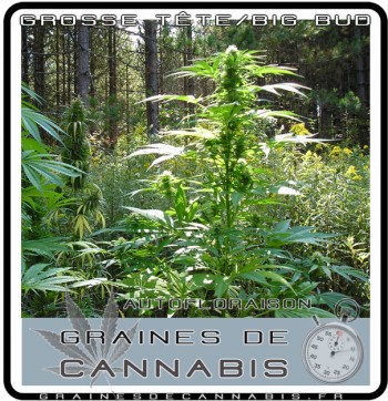 Pied de cannabis nain outdoor