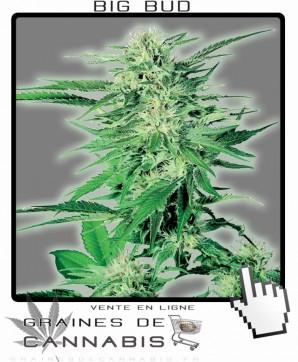 Big bud ou Grande Tête Cannabis