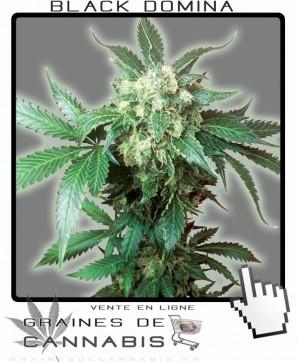 Graines de cannabis de qualité supérieure