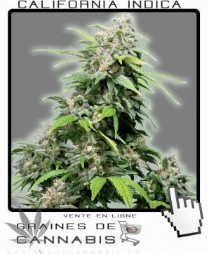 california indica cannabis