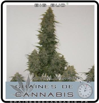 cannabis à  autofloraison Big Bud