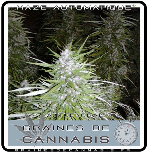 Graines de cannabis autofloraison pour l int rieur for Skunk interieur