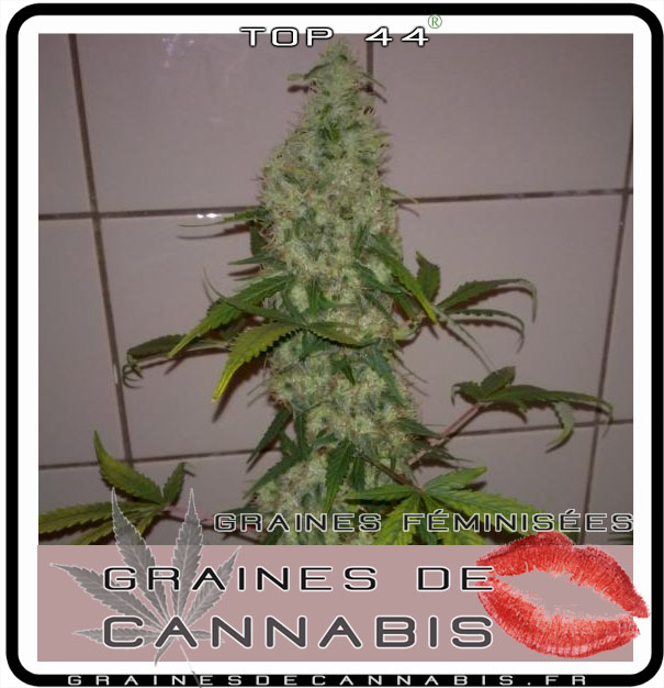 Cannabis facile pour l int rieur for Pousse de cannabis en interieur