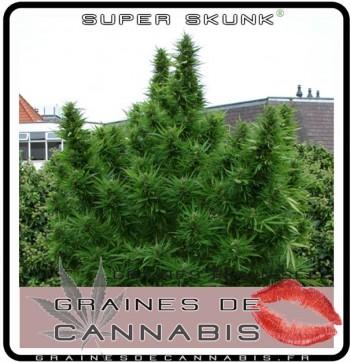Graines f minis es pour l ext rieur for Cannabis floraison exterieur