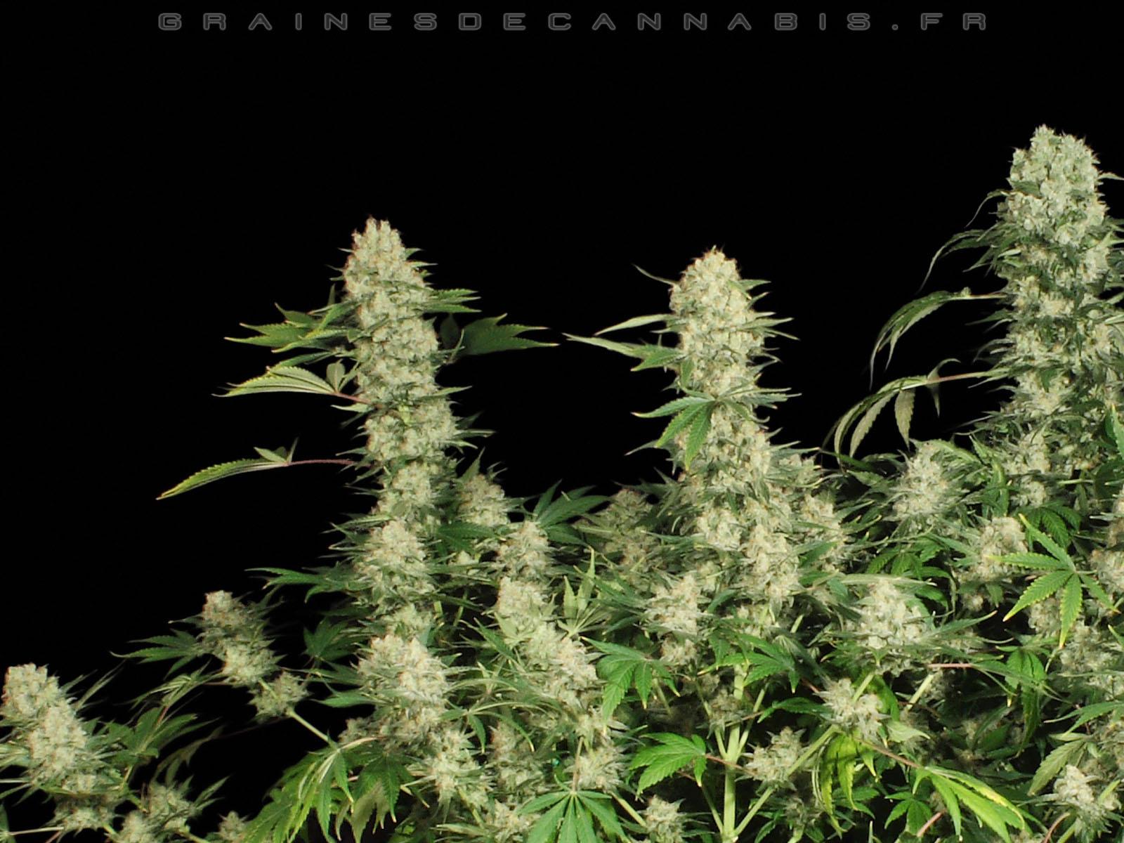 Fonds d cran cannabis t l charger un d arri re plan du for Image arriere plan pc