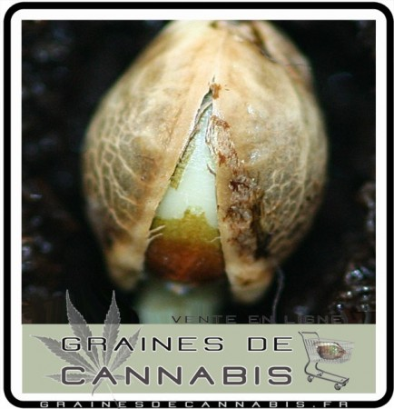 demarrer-graine-cannabis