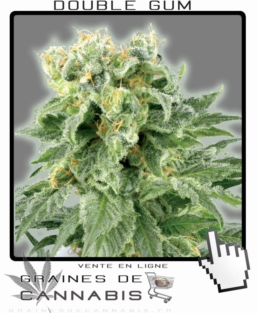 Graines de double gum cannabis for Graine de weed exterieur