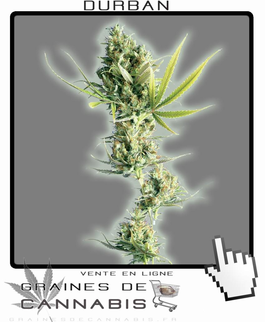 Graines de durban cannabis for Graine de weed exterieur