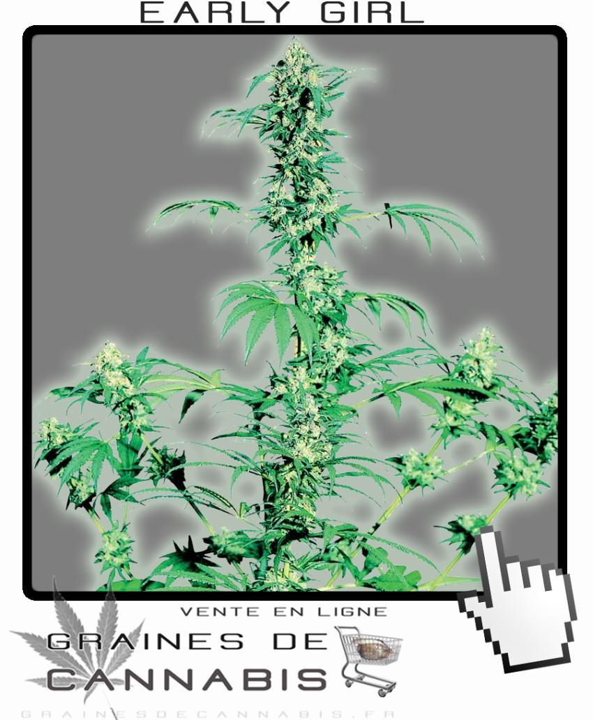 Graines de cannabis pour le nord de la france for Graine de weed exterieur
