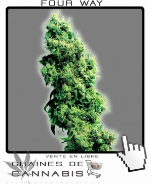Graines de four way marijuana