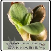 germer-cannabis