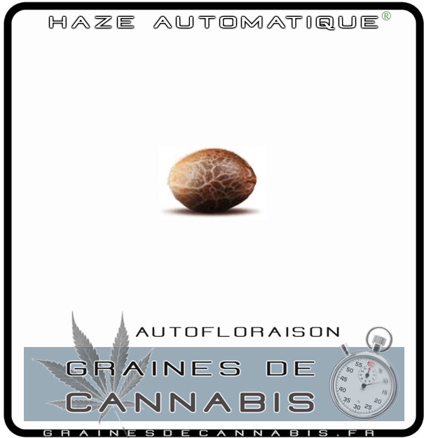Graines de cannabis autofloraison pour l int rieur for Conseil culture cannabis interieur