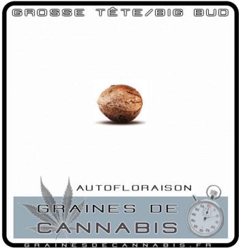 La graine de cannabis autofloraison