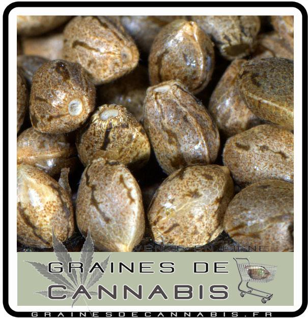 Quoi pas faire pour germer ses graines de cannabis for Graine de cannabis femelle interieur