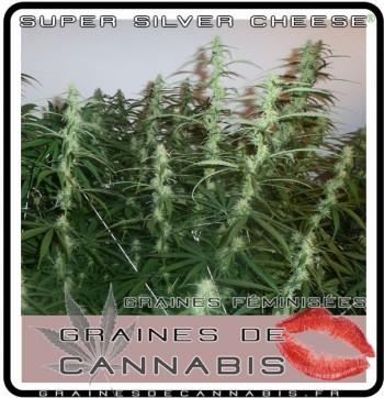 graines de cannabis sativa feminisé