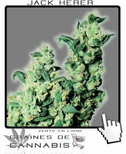 graines de cannabis: Jack Herer