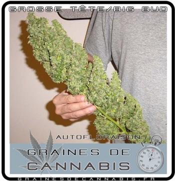 Une grosse tête de cannabis nain