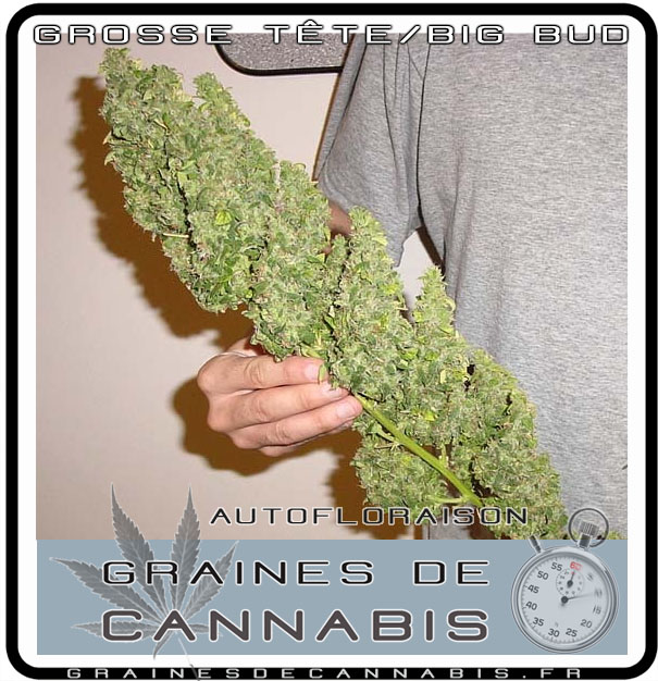 Graines de cannabis autofloraison pour l ext rieur for Graine de cannabis interieur