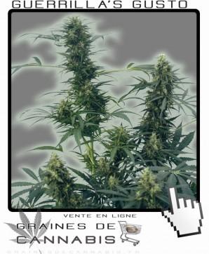 Graines de guerilla cannabis