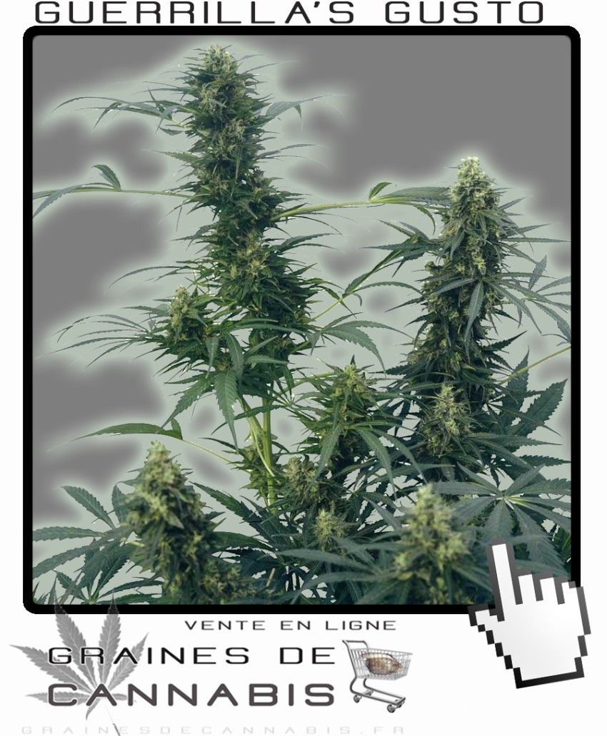 Graines de guerilla 39 s gusto cannabis for Graine de cannabis exterieur