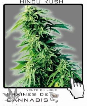 hindu kush cannabis