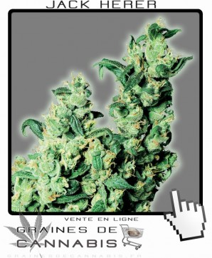graines de Jack Herer cannabis