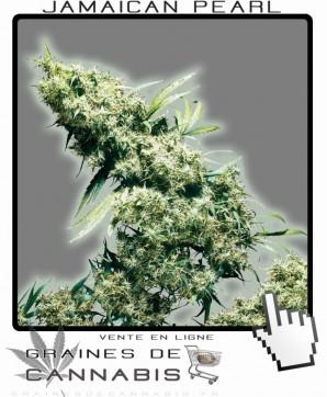Acheter graines de jamaican pearl cannabis