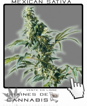 commander Graines de Cannabis Sativa