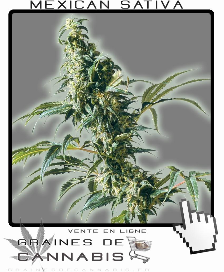 Acheter graines de sativa de mexique for Graine cannabis exterieur