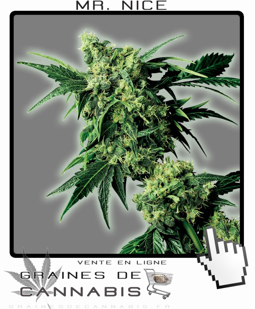 Graines de mister nice cannabis for Graine de cannabis interieur