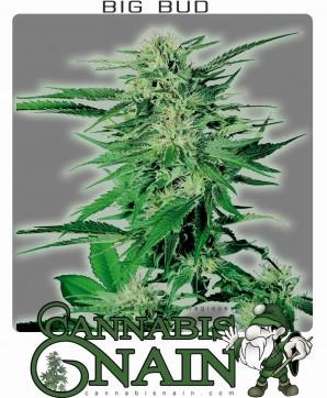 pied de cannabis nain