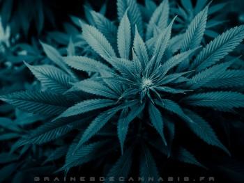Fonds D 233 Cran Cannabis T 233 L 233 Charger Un D Arri 232 Re Plan Du