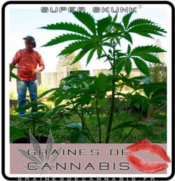 planter du cannabis femelle en extérieur